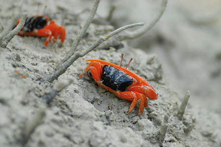 Fiddler Crab, Mangrove Point
