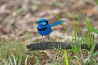 Blue Wren