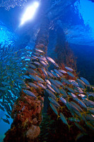 Schooling Silver fish, Busselton Jetty