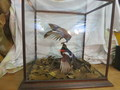 Birds in glass case