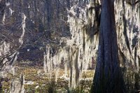 Spanish Moss in Swamp near Beyt Location