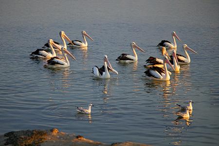Pelicans, Augusta