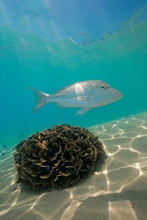 Spangled Emperor Coral Bay