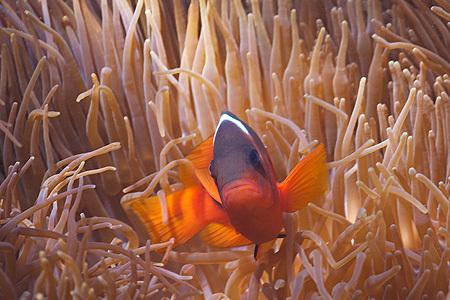 Tomato Anemonefish - Ningaloo