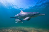 Dolphin and Calf, Bunbury