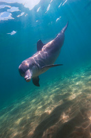 Wild Dolphin, Bunbury