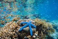 Blue Sea Star, Rowley Shoals