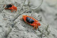 Fiddler Crab, Mangrove Point